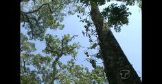 Pesquisa comprova eficácia do óleo de copaíba no tratamento da malária