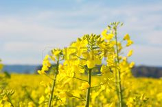 Swiss agriculture - Field of rapeseed  - plant for green energy