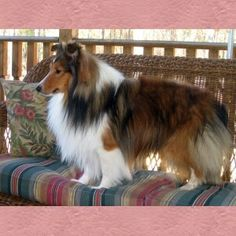 goodtime shelties