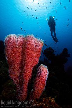 sponge & diver , Bonaire Caribe
