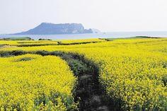 Yello fields in Jeju Island, South Korea