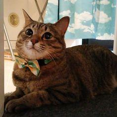 おはにゃーん❗good morning❗  #cat #catstagram #igclubcats #ilovemycat #instacat #neko #tabby #kitty #meow #world_kawaii_cat #worldcatsjournal #고양이 #ilovemycat #pets_of_our_world #ねこ #猫 #猫写真 #ネコ #きじねこ #きじとら #キジネコ #キジトラ #loves_my_cat #しましま軍団 #cute_cats_club