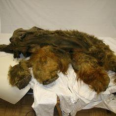 Woolly Mammoth Mummy Yields Well-Preserved Brain