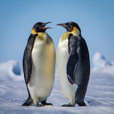 Emperor Penguins by norrie
