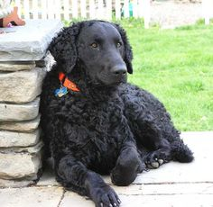 Curly coated retriever, black