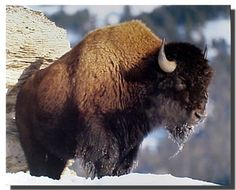 Amazing! Brighten up any room with this bison animal art print poster. This handsome bison wall poster will compliment your living space, entryway or any place your want to hang. This poster is made of using high quality paper with premium eco-solvent inks which will definitely pop off the wall with its stunning clarity and color accuracy. So Hurry up and order this wonderful piece of art and enjoy your surroundings.
