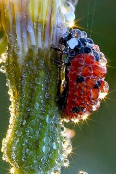 Ladybug covered in dew, looks like a jewel Dahlia Blue Poppy and Bud Purple butterfly nature insects Lotus All Nature, Amazing Nature, Science Nature, Beautiful Creatures, Animals Beautiful, Beautiful Gorgeous, Amazing Photography, Nature Photography, Levitation Photography