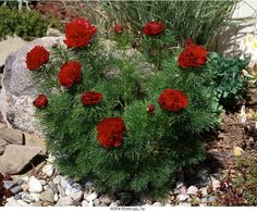 Paeonia tenuifolia 'Rubra Flora Plena' Fernleaf Peony Type Perennial Hardy range to Height to / to. Paeonia Tenuifolia, Home Improvement Contractors, Landscape Architecture, Perennials, Peonies, Planting Flowers, Christmas Wreaths, Flora, Diy Projects