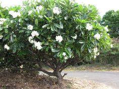 Pudica Plumeria palm beach white - Google Search