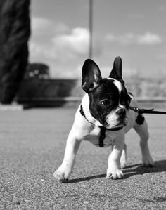 French Bulldogs by Luís Carvalhal, via Behance