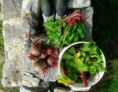 Beetroot to #ferment, greens to freeze, bucket of waste for #chickens. #harvest15 @homefarmer @giyireland @ireland