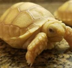 Sulcata Tortoise For Sale (African spurred tortoise) Sulcata Tortoise For Sale, Baby Tortoise For Sale, Albino African, Tortoise Enclosure, Tortoise Habitat, Tortoise Table, Turtle Love, Tattoo Project, Turtles