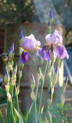 Purple Iris Glowing Evening Light grape royal by CheyAnneSexton