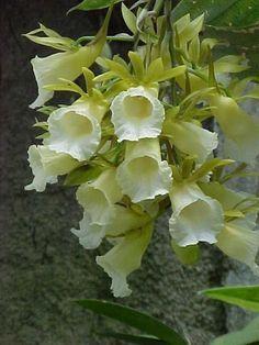 Galeandra pilosocolumna | Genus Galeandra | Pinterest