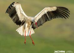 White Stork in flight by jose pesquero on 500px