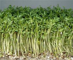 Кресс салат под названием широколистный