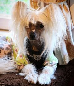 14 Funny Pictures Explaining Why People Love Chinese Crested Dogs Cute Cats And Dogs, Adorable Dogs, Chinese Crested Hairless, Chinese Crested Powder Puff, Hairless Dog, Companion Dog, Why People, Dogs Of The World, Cute Funny Animals