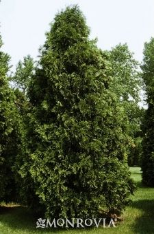 NATIVE. Dark American Arborvitae -  Thuja occidentalis 'Nigra'. Narrow, pyramidal evergreen displaying dense emerald green foliage. Holds its foliage color throughout winter. Excellent medium to large hedge or screening plant. 20 to 25 ft. tall, 5 to 7 ft. wide.
