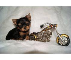 every yorkie needs a mini Harley