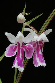 Ponerorchis graminifolia | Flickr - Photo Sharing!