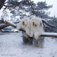 The Netherlands - Old English Sheepdog