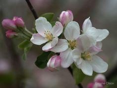 'Apple Blossom' by Dawne Olson Apple Tree Blossoms, Apple Blossom Flower, Almond Blossom, Blossom Trees, Spring Blossom, Cherry Blossom, Flower Fairies, Flower Art, Apple Blossom Tattoos