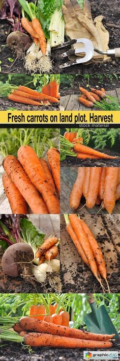 Fresh carrots on land plot. Harvest  stock images