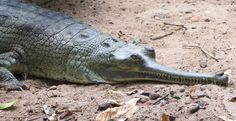 Le gavial du gange dans 16 photos d'animaux très étonnants en voie de disparition ! Votez pour les plus bizarres !
