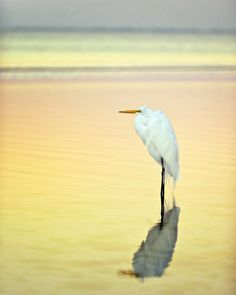 Egret Reflectionns.jpg | Babylon and Beyond Photography