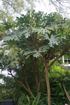 Trevesia palmata - Snowflake Aralia.  Great for tropical effects in a shaded area.  Stays neat and tidy year round.