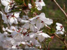 Prunus nipponica  'Brillant'