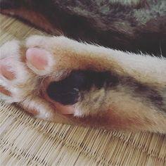 メカたんの足の肉球は全体的にピンク色の黒ブチ肉球です😊😊 #猫 #猫専用アカウント#愛猫 #愛猫家 #ひじき #めかぶ #ひーちゃん #めーちゃん #サビトラ #猫は世界を救う #猫スタグラム #猫のいる生活 #肉球 #肉球部 #肉球愛 #にゃースタグラム #サビトラ #メス猫