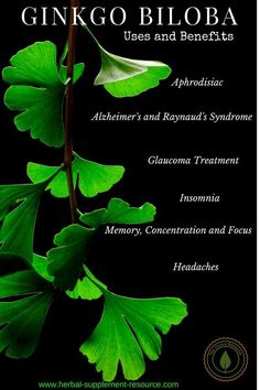Side Effects Acupuncture Ginkgo Biloba Herb - Benefits, Uses and Side Effects - Ginkgo Biloba Benefits and Side Effects and Its Modern and Traditional Uses as a Medicinal Herb for Improving Memory, Dementia and Alzheimer's Coconut Benefits, Calendula Benefits, Matcha Benefits, Health Benefits, Health Tips, Physical Inactivity, Questionnaire, Tomato Nutrition, Stomach Ulcers
