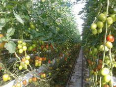 Open dag tomatenkwekerij