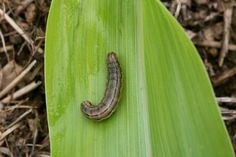 Time to ready IPM plans for 2013 | UK College of Agriculture News