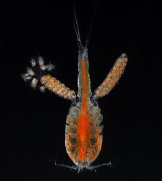 Copepod mom with hatching nauplii (larval copepod stages)