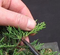 proper care for a juniper bonsai - everything you need to know