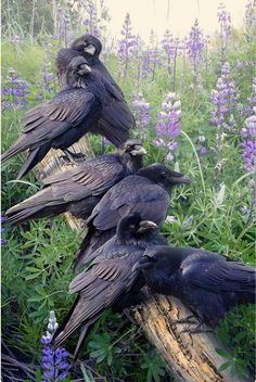 Beautiful Birds, Animals Beautiful, Beautiful Pictures, Animals And Pets, Cute Animals, Raven Bird, Pet Raven, Crow Bird, Jackdaw