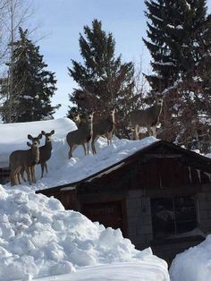 A Ketchum resident who shoveled snow off a shed roof to prevent it from being damaged was dumbfounded by what she found on the roof soon after: a small herd