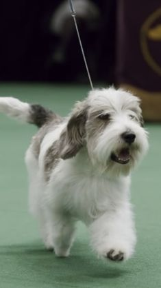 PBGV Scottish Terrier, Tibetan Terrier, Petit Basset Griffon Vendeen, Griffon Dog, All About Animals, Animals And Pets, Cute Animals, Baby Dogs, Dogs And Puppies