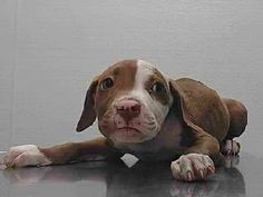 8/6/17 - A PIT BULL PUPPY WHO IS IN A HIGH KILL SHELTER! - PLEASE SAVE HER! SHE IS ADORABLE! - CONTACT WWW.SEAACA.ORG - DOWNEY, CALIFORNIA
