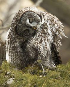 Great Gray Owl grooming.