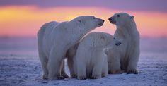 Polar bear mother and cubs, Churchill, Manitoba, Canada