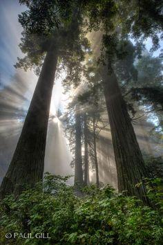 ᙢᏋяⱴᏋįℓℓɛųᎦɛ Ꮳяєαɬįσи (Redwood Rays by paulgill)