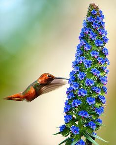 Encountering a hummingbird is very amazing. It is so impossibly small and beats its wings so quickly that it first seems to be a bee.