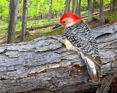 Red-bellied Woodpecker 8 x 10