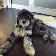 With these legs, I could be a runway model #aussiedoodle #aussiepoo #dogstagram…