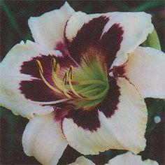 Moonlit Masquerade Daylily Garden, Day Lilies, Backyard Ideas, Masquerade, Make Me Smile, Moonlight, Beautiful Flowers, Nursery, Gardening