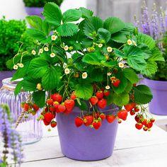 Fridulin-Erdbeere Terralin, getopft