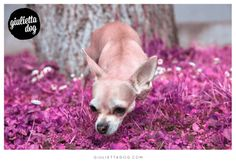 Pink mood ;) #goodmorning #pink #mood #flower #summer #sun #sunnyday #Milan #giuliettalovers #fashionchihuahua #style
